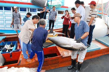 Binh Dinh Province: The Price Of Yellowfin Tuna Goes Up